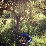 Afternoon Apple Picking